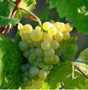 Thomas Bauer Riesling